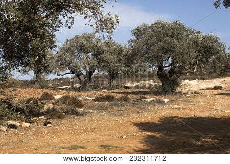 Olive Trees On The Slopes Of The Mountains Of Samaria, Israel