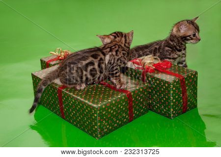 Two Cute Bengal Kittens And Their New Year's Gifts. Traditional Holidays.