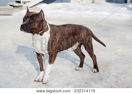 American Staffordshire Terrier Puppy Is Standing On A White Snow. Ten Month Old. Pet Animals.
