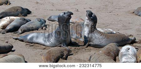 Northern Elephant Seals Fighting At The Piedras Blancas Elephant Seal Colony Near San Simeon On The