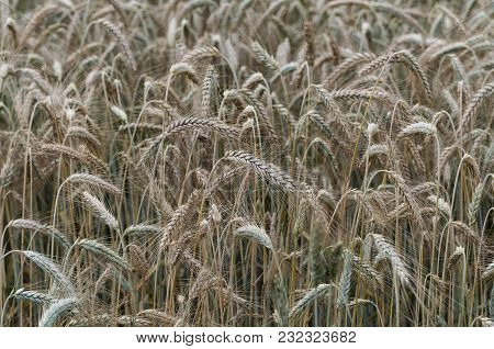 Close-up Of Awns In The Rye Field
