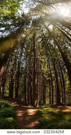 Vertical Panorama Of Spruce Tree Forest And Sun Shining Through The Treetops