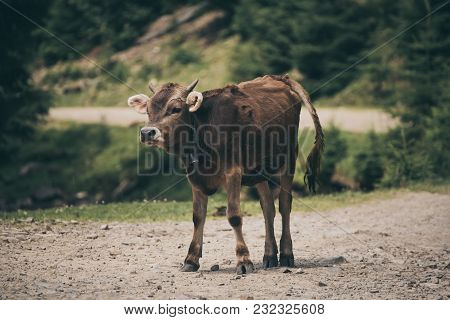 Single Funny Calf Staying On The Mountain Road, Agricultural Eco Concept