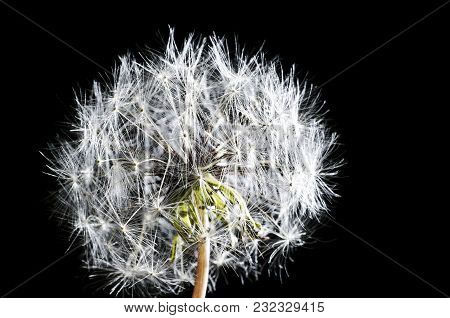 White Fluffy Dandelion On A Black Background Isolated, Close-up.