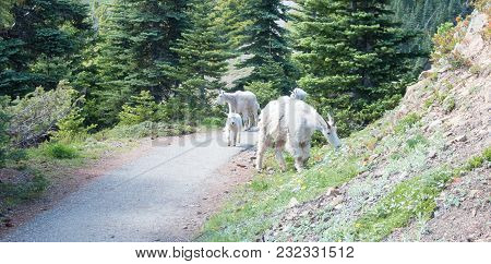 Small Herd Of Mountain Goats On Walking Trail Leading To Hurricane Ridge In Olympic National Park In