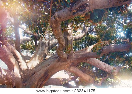 A Very Old Tree With Huge Branches