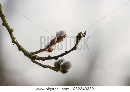 Nice Fresh Flowering Pussy Willow Branches In Early Spring