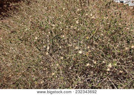 Larrea Tridentata, Creosote Bush In California Desert In Bloom. Yellow Flowers, White Seed Puffs, Gr