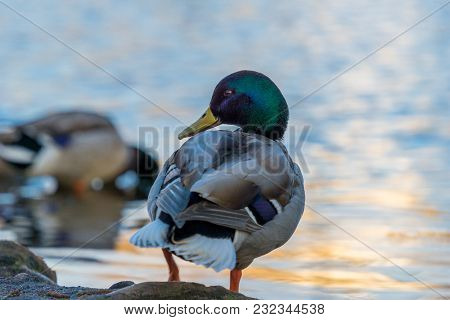 View To A Beautiful Mallard Duck (anas Platyrhynchos) At The Shore. Close-up Of A Duck In Front Of A