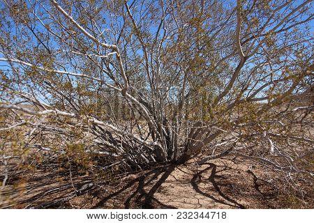 Larrea Tridentata, Creosote Bush In California Desert Close Up. Branches, Leaves, Dirt