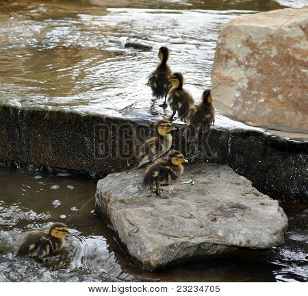 Baby Ducklings on Mossy Creek Rocks