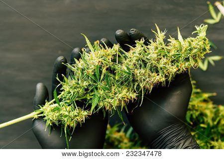 A Large Bud Of Fresh Cannabis Harvest In The Hands Of A Male Grover Concepts Of Cultivating Medical