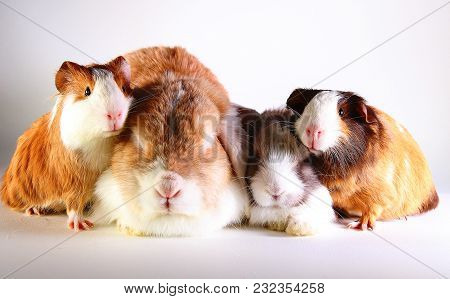Guinea Pigs And Rabbits Together. Rabbit Lop Bunny And Cavy Guinea Pig On Studio Background.