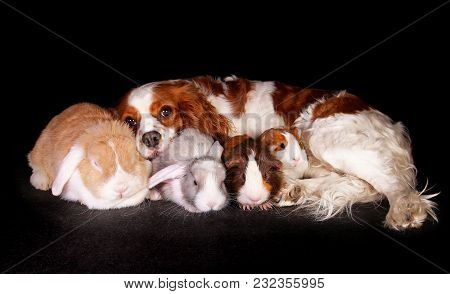Animals Together. Lop Rabbit Dog Cavy Guinea Pig Loves Each Other. Pet Friends.