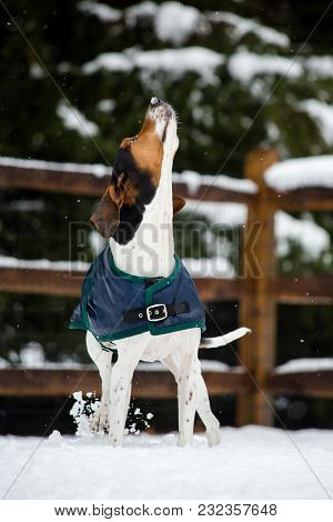 Treeing Walker Coonhound Playing In The Snow
