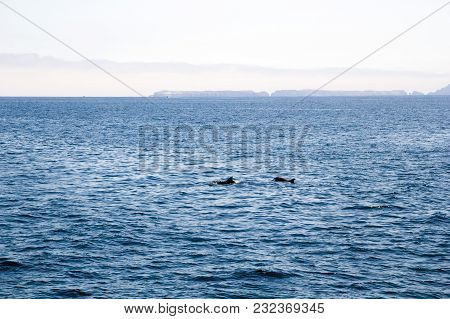 A Couple Of Playful Dolphins Swimming In  Ocean Waters Near Channel Islands, Southern California