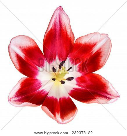 Red And White Tulip Flower Head. Top View. Isolated On White Background.