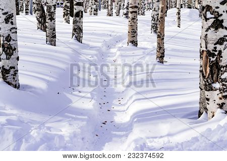 Snow Drifts With A Trodden Path, Outlined After Snowstorm In A Natural Birch Forest With Large Shado