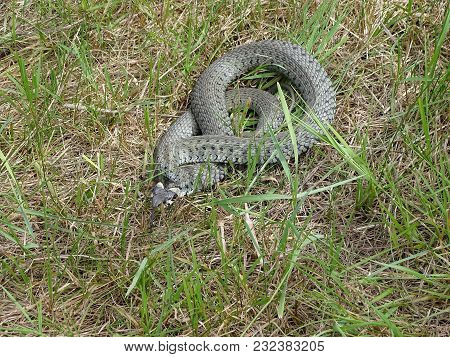 Grass Snake, Natrix Natrix , Meadow In A Meadow