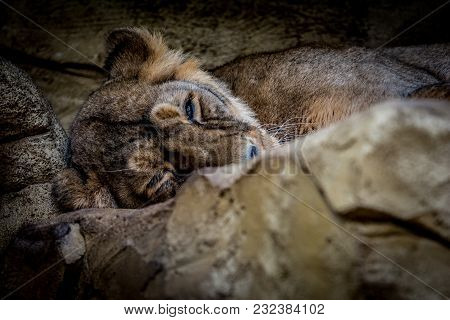 Female Asiatic Lion (panthera Leo Persica) Relaxing. Wildlife Animal.
