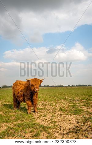 Young Highland Cow With Small Horns Curiously Looking At The Photographer. The Photo Was Taken In Th