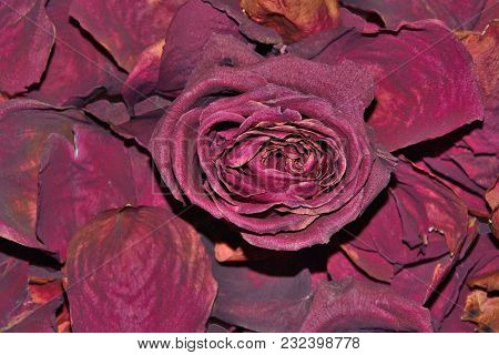 Dark Red Dried Rose Flower On Dry Fragrant Petals Soft Background - Raw Materials For Perfumery, Cos