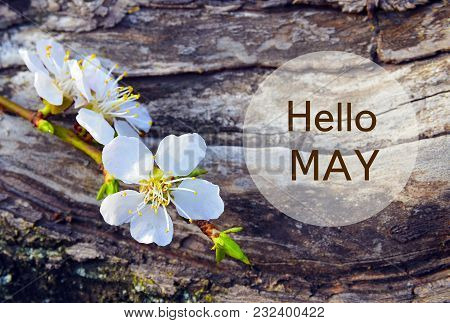Hello May.cherry Blossom Branch On Tree Bark Background.springtime Concept.selective Focus.