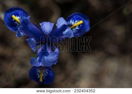 Spring, Blue Iris Flower With A Dark Background