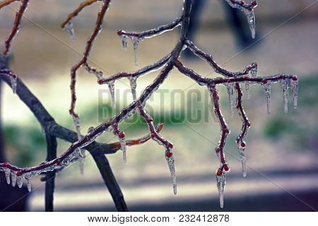 Freezing Rain On The Branches, Close View