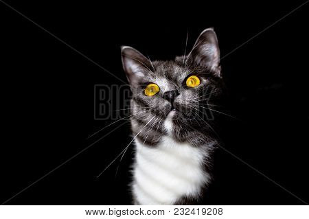 Beautiful Portrait Of A Grey Cat On A Black Background With Striped Shadow Of Window On Body