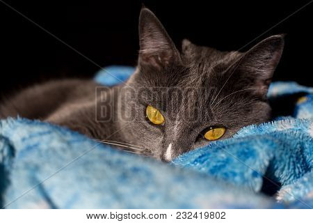 Beautiful Portrait Of A Grey Cat On A Black Background With Striped Shadow Of Window On Body. There
