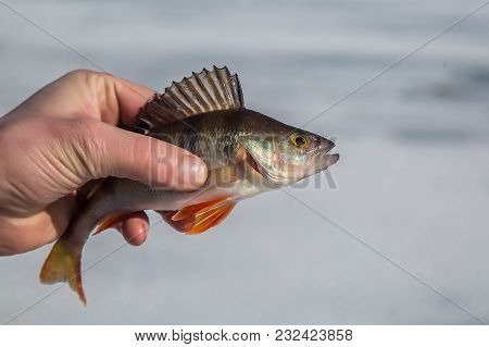 Big Perch Fish In Hand Fisherman On The Background Of The Pond