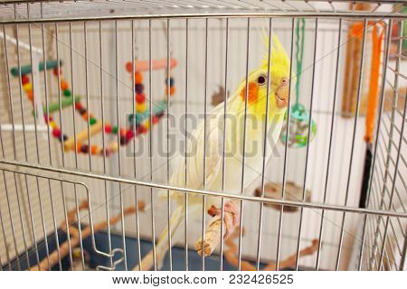 A Decorative Yellow Talking Parrot Sits On A Perch In A Cage With Toys. Orange Cheeks And Crest. My