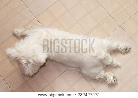 West Highland White Terrier Resting At Home On The Floor.