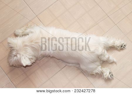West Highland White Terrier Resting At Home On The Floor .
