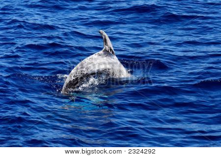 Diving Risso'S Dolphin