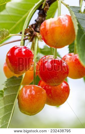 Fruits Of Sweet Cherry On A Tree Close Up