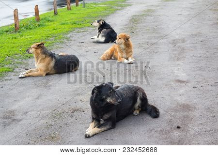 Flock Of Stray Dogs Is Resting On The Road