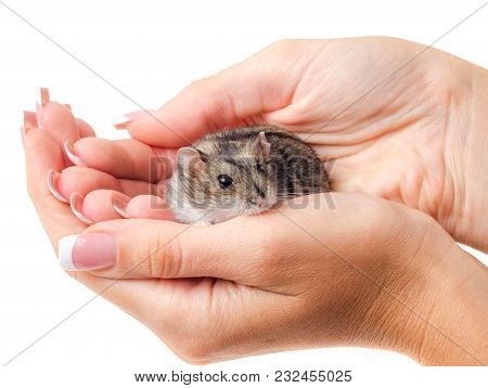 Jungar Hamster In The Woman's Hands Isolated On White