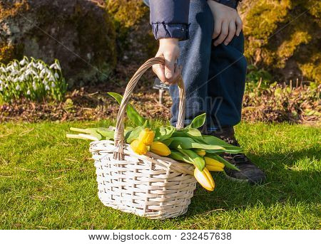 Child Hands Holding A Basket With Bright Yellow Tulips In Sunny Spring Park. Copy Space.