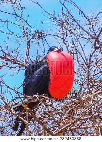 Frigate Bird With Inflated Red Pouch On Galapagos Island Ecuador