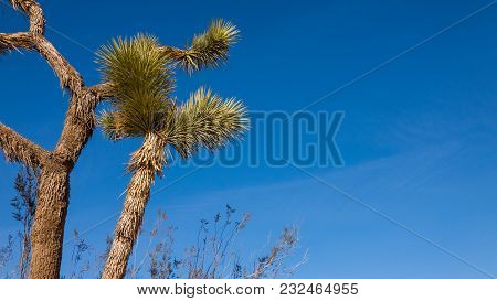 Beautiful Low Angle Shot Of Joshua Tree Over A Blue Sky Background.