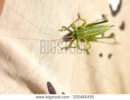 A Green Grasshopper Is Sitting On Clothes. Macro