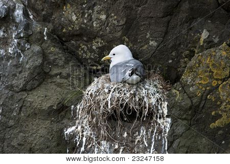 Seagull in nest on Mykines, Faroe Islands