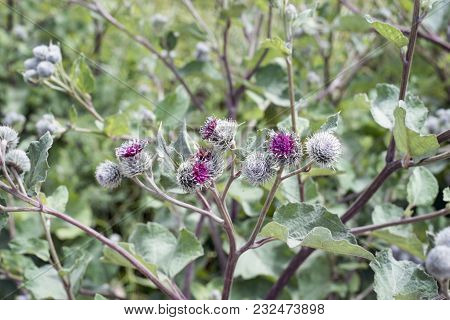 Thistle Plant By Summer With Focus On Central Buds