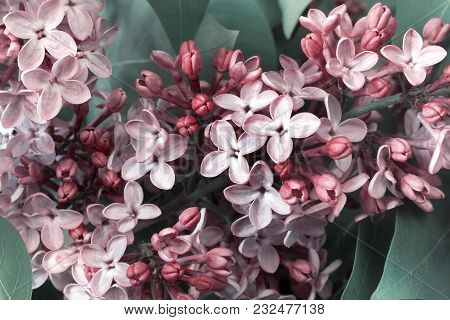 Beautiful Lilac Flowers Among The Green Leaves. Presented In Close-up.