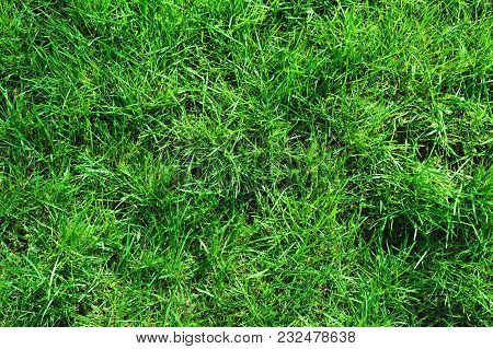 Close-up Of Uncultivated Wild Green Lawn. View From Above. Green Juicy Grass Background For Spring A