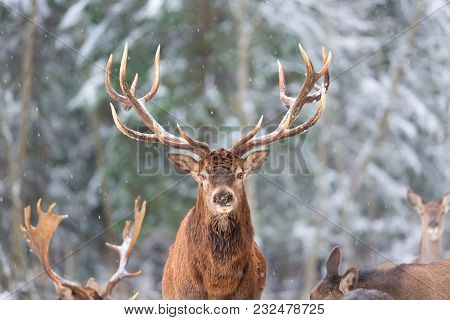 Winter Wildlife Landscape With Noble Deers Cervus Elaphus. Deer With Large Horns With Snow On The Fo