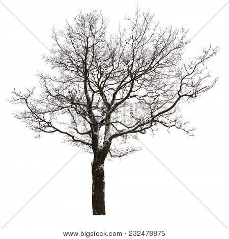 large straight bare oak tree isolated ob white background