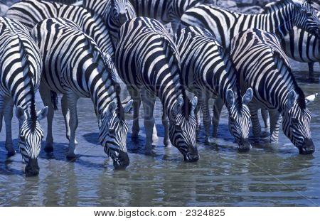 Africa-Zebras Drinking At Waterhole